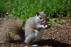 吃花生的逗人喜爱的灰鼠 免版税图库摄影