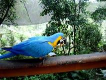 吃花生的青和黄色金刚鹦鹉 免版税库存照片