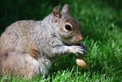 吃花生的饥饿的灰鼠 图库摄影
