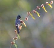 吃花的古巴红腹灰雀 库存照片