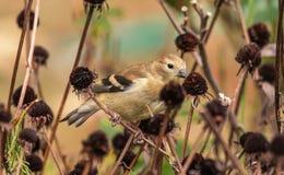 吃花种子的美国金翅雀 免版税库存图片
