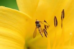 吃花粉边的Hoverfly 免版税库存图片