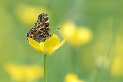 吃花蜜的地图蝴蝶 免版税库存照片