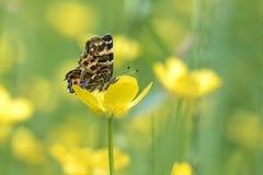 吃花蜜的地图蝴蝶 图库摄影