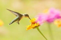吃花蜜的盘旋的蜂鸟 库存图片