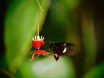 吃花蜜的红色Parides蝴蝶 热带昆虫宏指令 五颜六色的动物背景 免版税库存图片