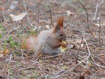 吃苹果果子和摆在公园的逗人喜爱的红松鼠 库存照片