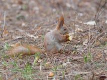 吃苹果果子和摆在公园的逗人喜爱的红松鼠 免版税库存图片