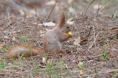 吃苹果果子和摆在公园的逗人喜爱的红松鼠 免版税图库摄影