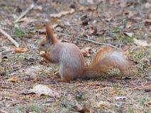 吃苹果果子和摆在公园的逗人喜爱的红松鼠 图库摄影