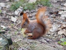 吃苹果果子和摆在公园的逗人喜爱的红松鼠 免版税库存照片