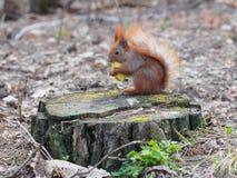 吃苹果果子和摆在树桩的逗人喜爱的红松鼠  免版税库存照片