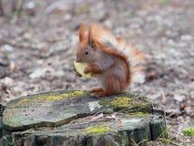 吃苹果果子和摆在树桩的逗人喜爱的红松鼠  免版税库存图片