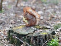 吃苹果果子和摆在树桩的逗人喜爱的红松鼠  图库摄影
