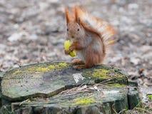吃苹果果子和摆在树桩的逗人喜爱的红松鼠  免版税图库摄影