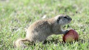 吃苹果的地鼠 股票视频