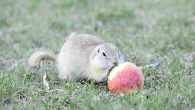 吃苹果的地鼠 股票录像