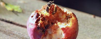 吃苹果的多个黄蜂 库存照片