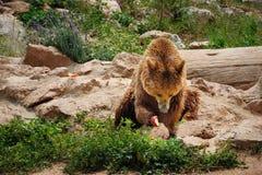 吃苹果的棕熊 库存照片