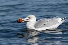 吃苹果的海鸥 免版税库存照片