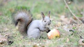 吃苹果的灰鼠 股票录像