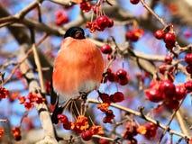 吃苹果的红腹灰雀 免版税图库摄影