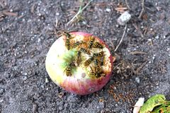 吃苹果的黄蜂 图库摄影
