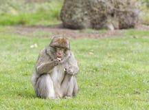 吃苹果的巴贝里短尾猿 图库摄影