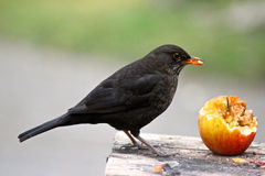吃苹果的黑鹂 免版税图库摄影