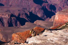 吃苹果计算机在大峡谷国家公园,亚利桑那,美国的灰鼠 库存照片