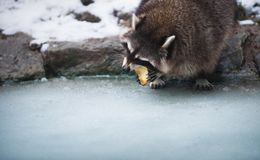 吃苹果计算机的浣熊,站立在冰 低景深、锋利的眼睛和鼻子,被弄脏的背景 免版税图库摄影