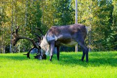 吃草一个公的北美驯鹿 免版税库存照片