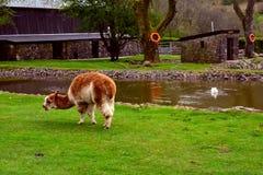 吃草一个农场的喇嘛在池塘附近,国家Showcaves中心,布雷肯比肯斯山,威尔士,英国 免版税库存图片