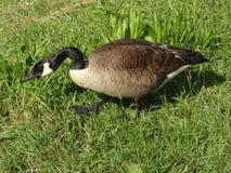 吃草一只加拿大的鹅的特写镜头 免版税库存照片