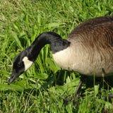 吃草一只加拿大的鹅的特写镜头 库存图片