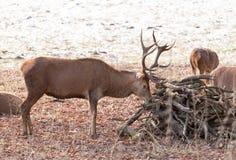 吃草一只幼小公的雄鹿 免版税图库摄影