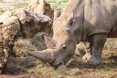 吃草一只的白犀牛的画象 库存图片