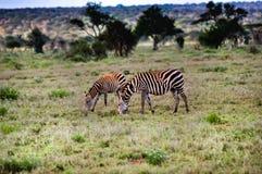 吃草三匹的斑马 免版税图库摄影