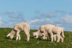 吃草三只新出生的羊羔 免版税图库摄影