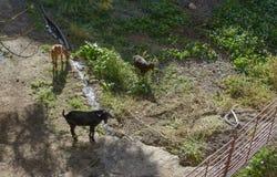 吃草三只的山羊 免版税库存图片