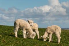 吃草三只的羊羔 免版税图库摄影