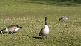 吃草三只的鹅 加拿大和灰雁 影视素材