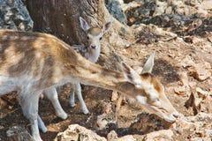 吃草与一只新出生的小鹿的幼小鹿 库存照片