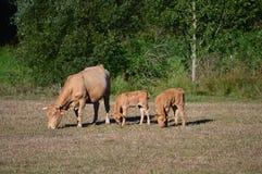 吃草与他们的小牛和晒日光浴在加利西亚的山的草甸的母牛 旅行兽性 库存照片
