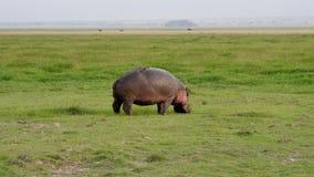 吃草与在非洲保留的新鲜的绿草的野生非洲河马 影视素材