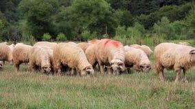 吃草与声音的绵羊 影视素材