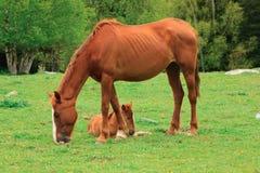 吃草与她的驹的母马 库存图片