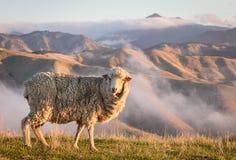 吃草与山的美利奴绵羊在日落 免版税库存照片