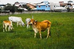 吃草与有些同事的Bown母牛 库存图片