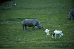 吃草与白色犀牛&驼鸟的短弯刀有角的羚羊属 免版税库存照片